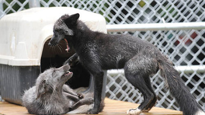 Captain, left, and Jack, tussle in their new enclosure at the Animal Rescue League's Wildlife Center in Verona.