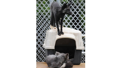 Captain, bottom, and Jack, are two of the three silver foxes now living in a new enclosure at the Animal Rescue League's Wildlife Center in Verona.