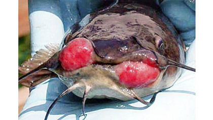 A brown bullhead catfish from Presque Isle Bay with cancerous growths.
