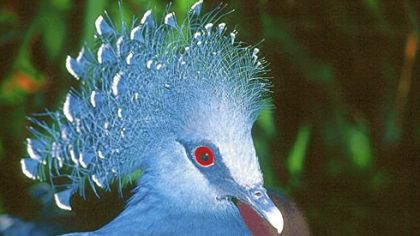 The most notable feature of the Victoria Crowned Pigeon is its crown of lacy feathers, each tipped in white.