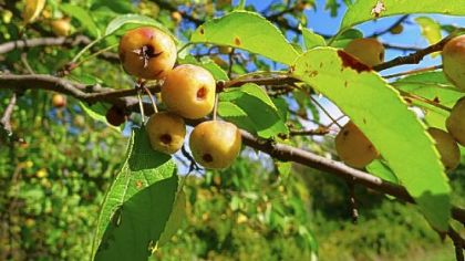 Various crab apples and haw fruit found in Upper St. Clair's