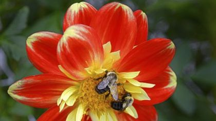 Bees rest on a &#039;Pooh&#039; dahlia.