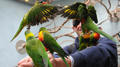 Lorikeets crowd around a visitor to the National Aviary, which is celebrating its 60th anniversary.