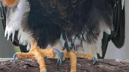 A formidable set of talons is displayed by a Steller&#039;s sea eagle at the National Aviary on the North Side.