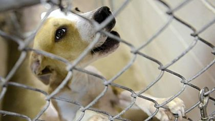 A dog claws at his cage Wednesday at Triangle Pet Control Services in McKees Rocks. Triangle Pet was cited by the state for failing to maintain records and sanitary conditions at the kennel, which has served more than 50 of the county's municipalities.