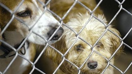 Dogs sit in their cages at Triangle Pet Control Service.