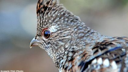 Ruffed grouse thrive in dense young forests and are an outstanding sporting bird for hunters willing to find them.