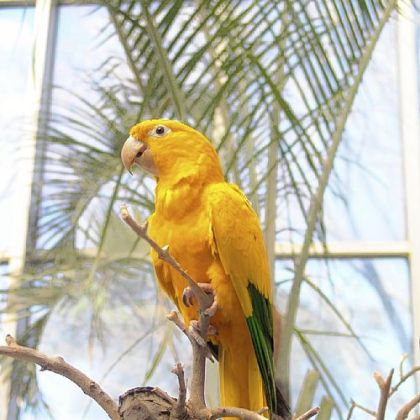 Amazon parrot.