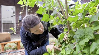 Stephanie Bliss, a volunteer, checks a plant for beans at the Sewickley Food Pantry Garden.