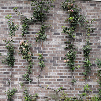 The apple espalier growing in Rose Romboski's garden.