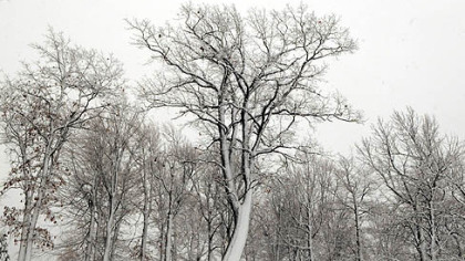 A group of trees near Seven Springs was snow-covered today.