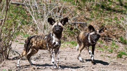 African Painted Dogs at the Pittsburgh Zoo & PPG Aquarium.