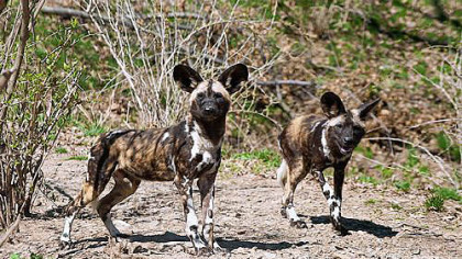 African painted dogs at the Pittsburgh Zoo.
