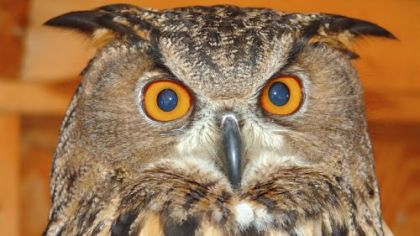 The Eurasian Eagle Owl has a wingspan of 6 feet.
