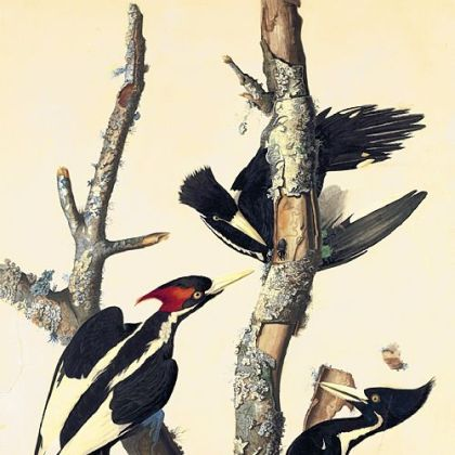 """Ivory-Billed Woodpecker,"" by John James Audubon."