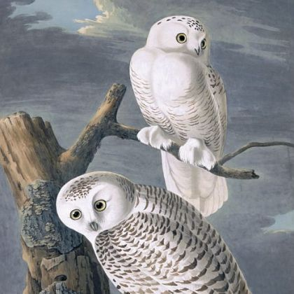 'Snowy Owls' by John James Audubon.
