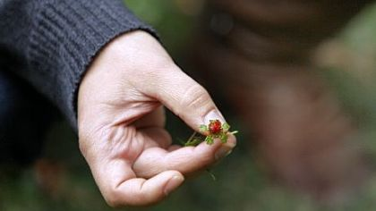 Nicole Juday holds a wild strawberry during a tour the Awbury Arboretum.