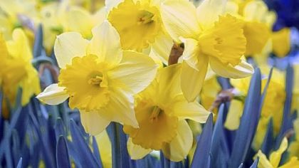 Letting foliage die on its own, dividing and fertilizing are all ways to keep daffodils blooming.