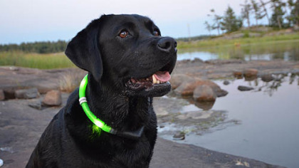 Glowdoggie LED collar, $49.99 to $64.99 at www.glowdoggie.com.