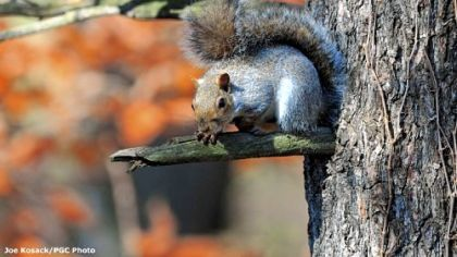 Gray squirrels are prolific, abundant and provide lots of shooting action for hunters who know where to find them.