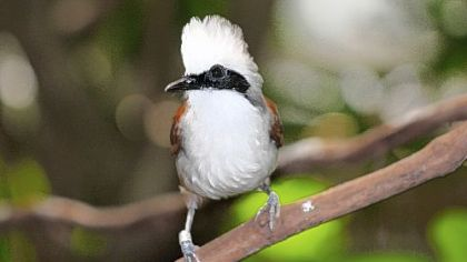 The laughing thrush will help raise its younger siblings or other unrelated birds.