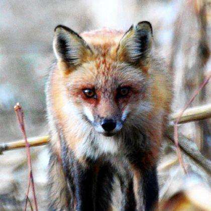Red fox pelt prices have been up in recent years, but the number of trappers targeting foxes has remained about the same.