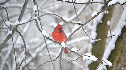 "Michael Colosimo shared this photo from today's weather scene in Monongahela, Pa. entitled ""Snowy cardinal."" View Michael's ""Snow dog"" photo and share your own winter weather pictures at www.post-gazette.com/yourphotos. Click on Breaking News."