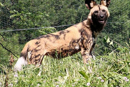 A painted dog at The Pittsburgh Zoo & Aquarium.